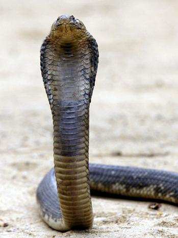 Tolba Family Rears Snakes Outside Cairo - 2006