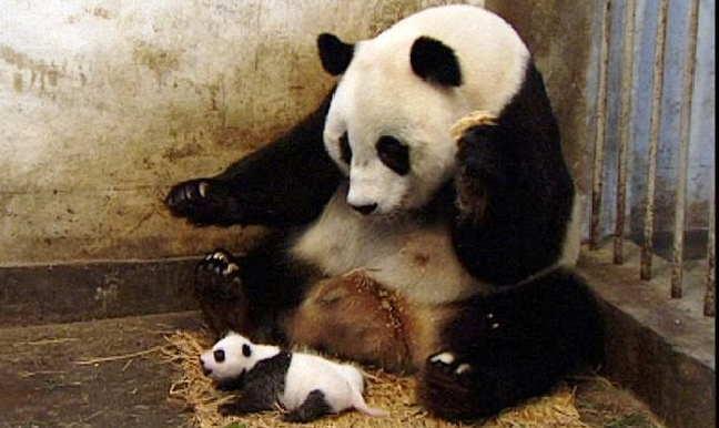 sneezing_baby_panda_2011_a_l.jpg