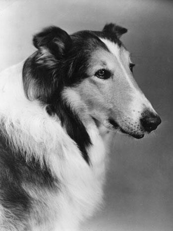 Lassie Dog - P 2011