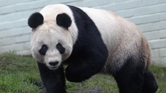 Tian Tian Panda - H 2011