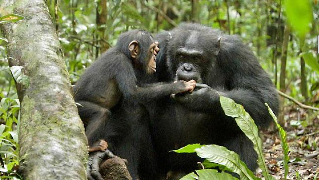 Chimpanzee Disney Film Still - H 2012
