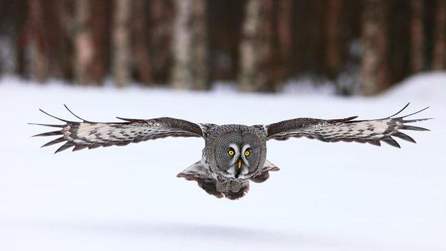 Frozen Planet Owl Flight - H 2012