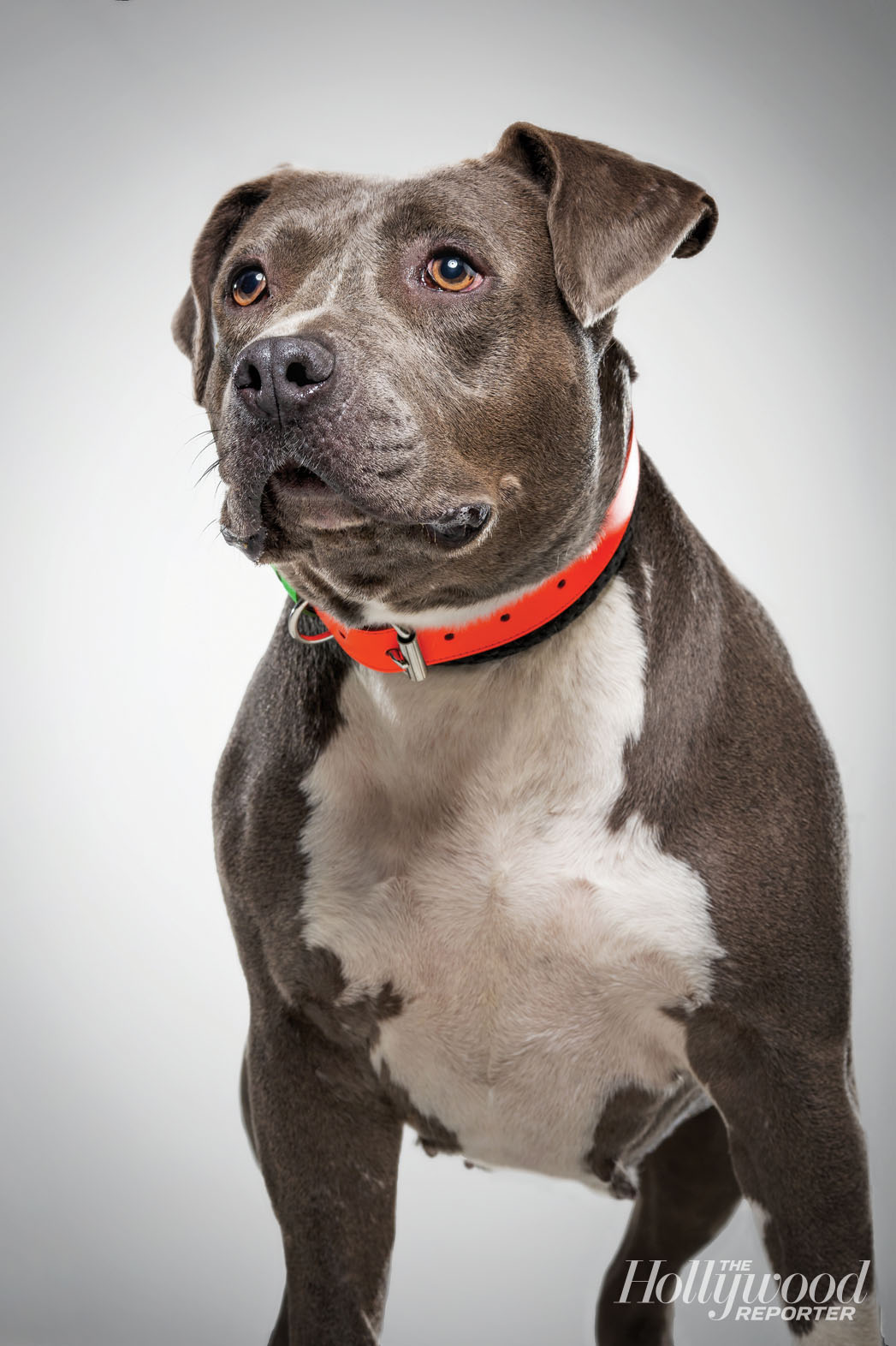 Electra: American Staffordshire terrier (pit bull), 3 years old