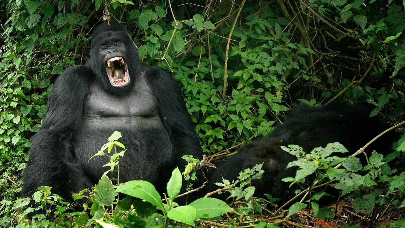 Mountain Gorillas Virunga National Park - H 2014
