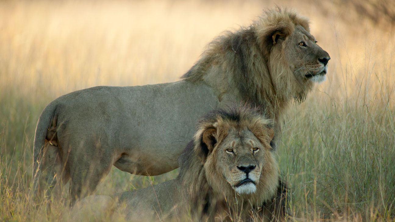 Cecil the Lion with Brother Jericho - H 2015