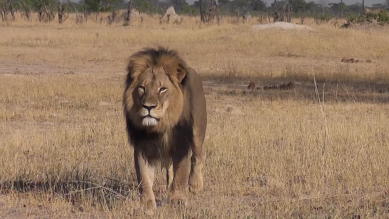 Cecil the Lion - H 2015