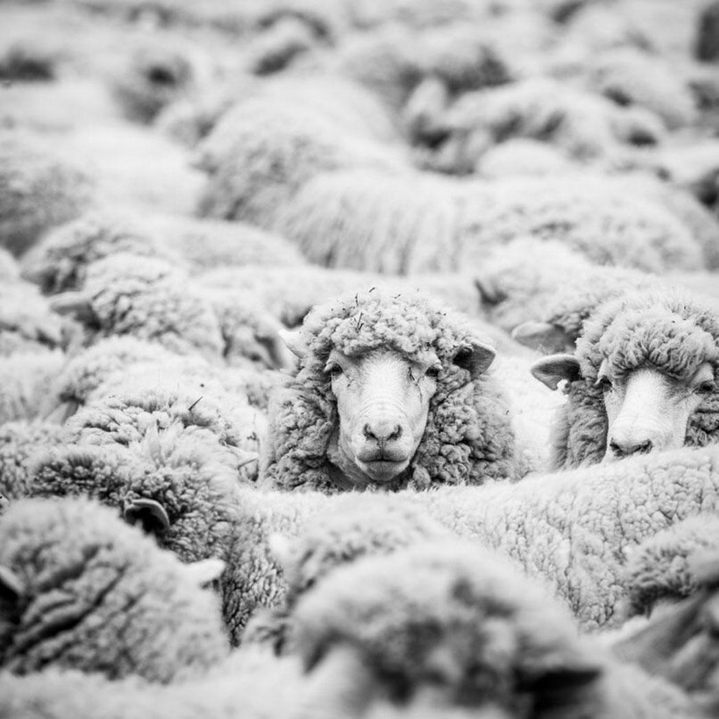 Patagonia Sheep - S 2015