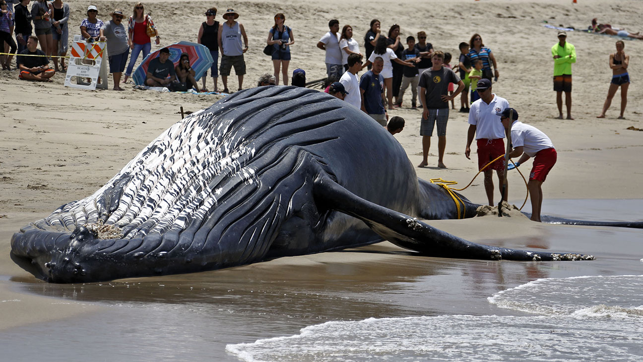 Dead Whale Dockweiler Beach H 2016