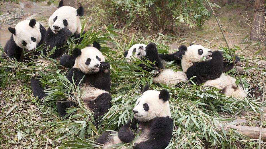 Pandas - Still 2 - Narrated by Kristen Bell -Publicity-H 2018