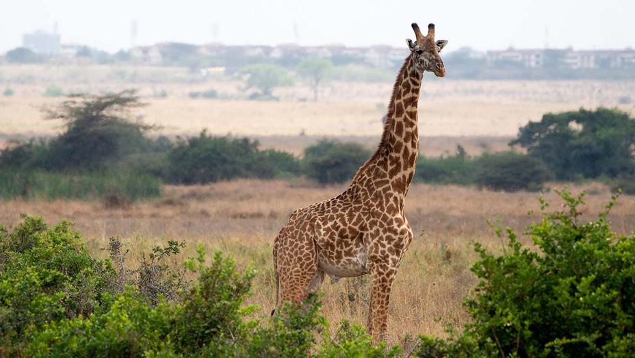 giraffe - Getty - H 2019