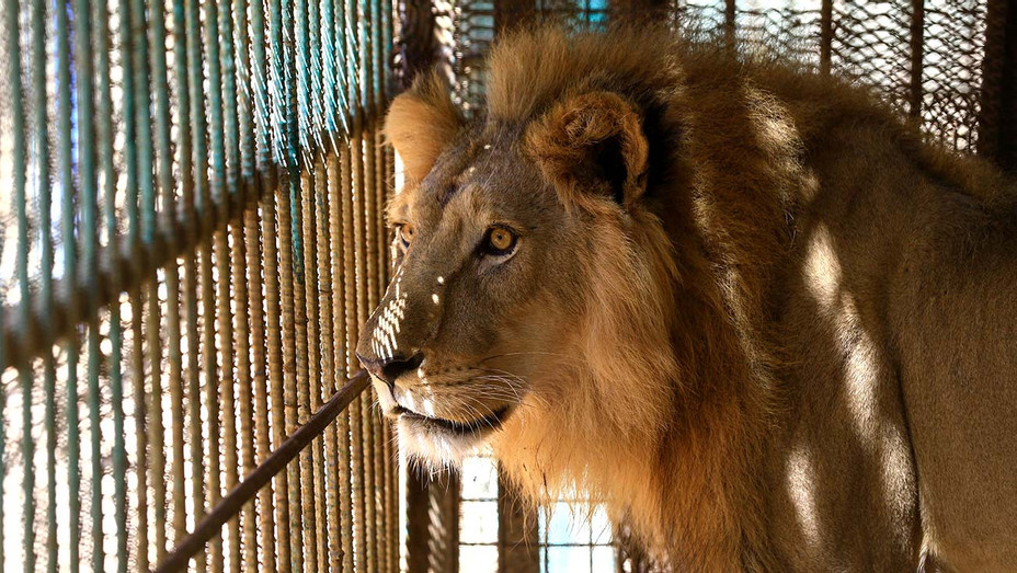 Lion in a cage - Getty - H 2020