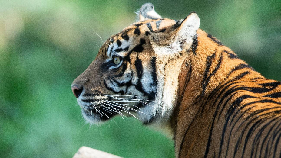 Tiger in zoo in 2019 - H Getty 2020